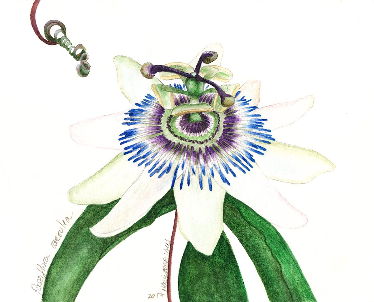 17passifloraw