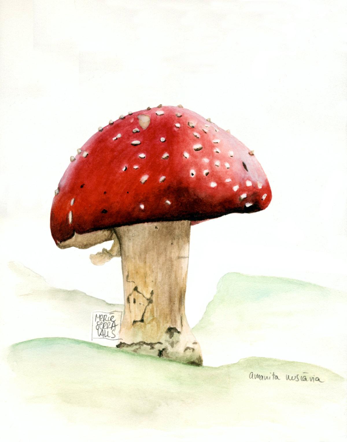 illustracio_cientifica_amanita_muscaria_arsblanc